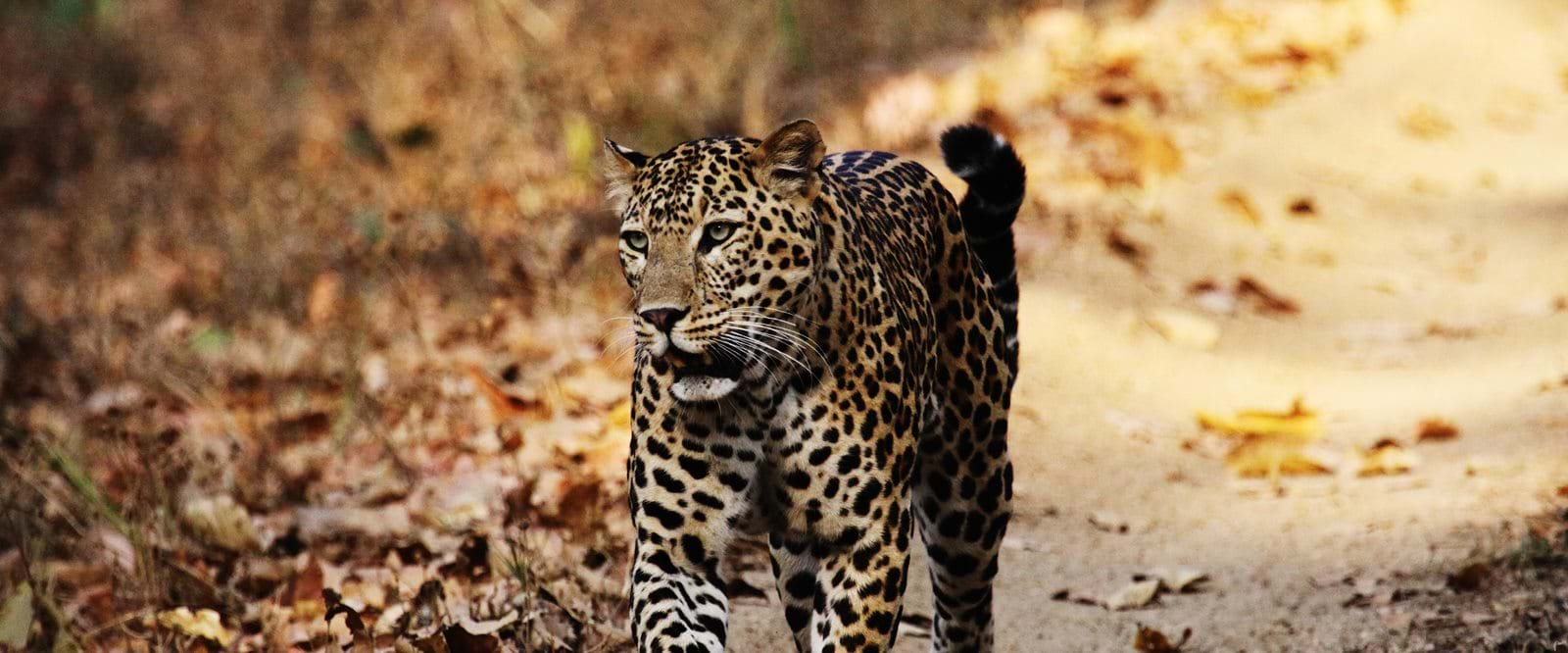 Safari, leopard, India,