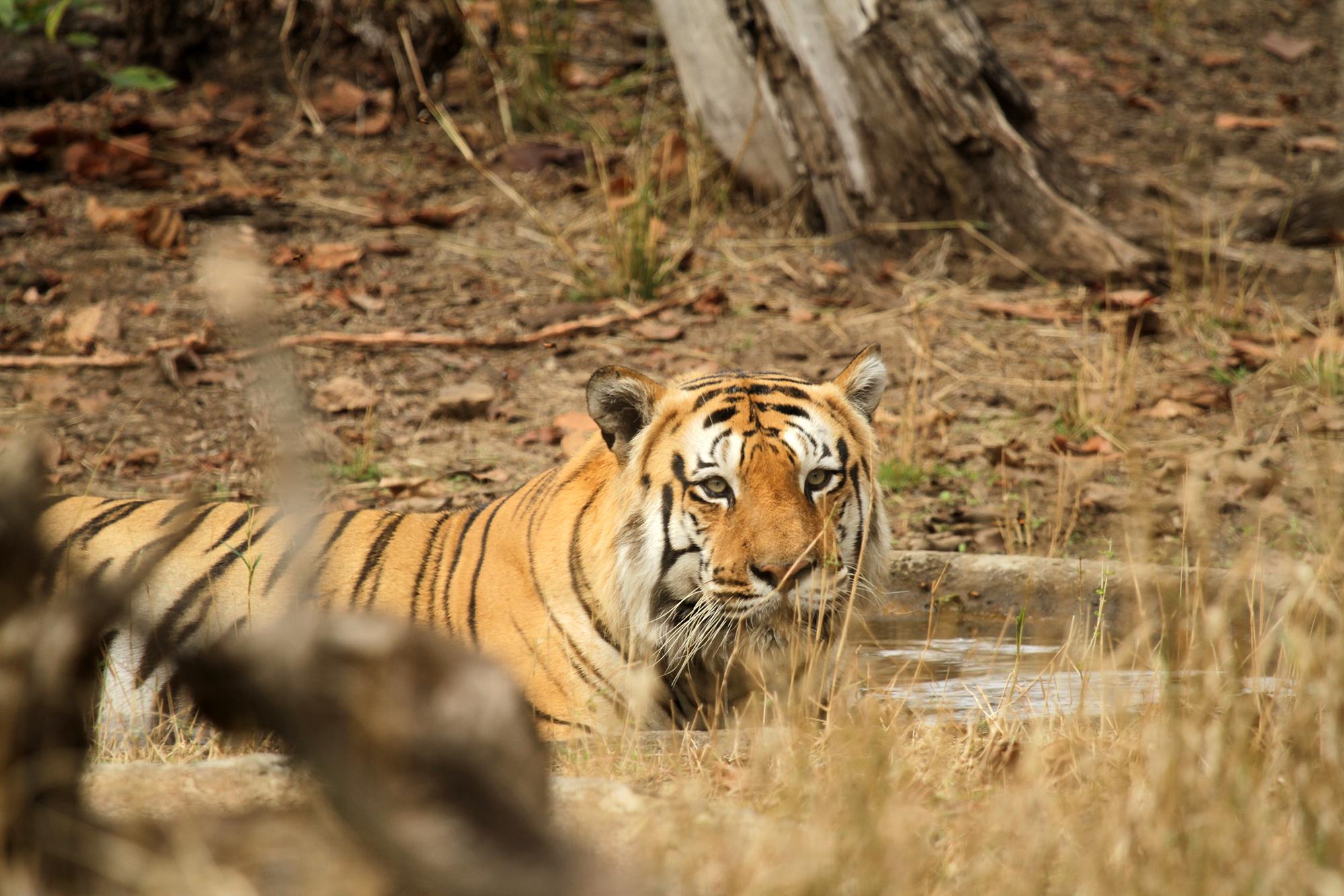 Plotsligt blev tiger mansklig